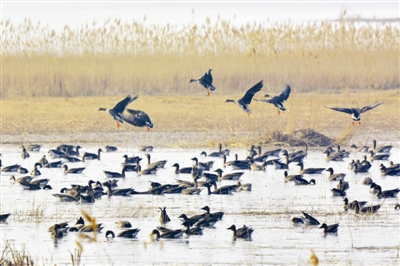 护动物东方白鹳两只、国家二级保护动物大天鹅两只、白琵鹭50多只图片