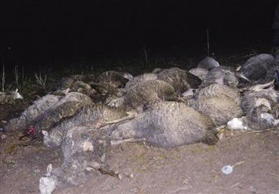 40多只绵羊被雷电击中死亡