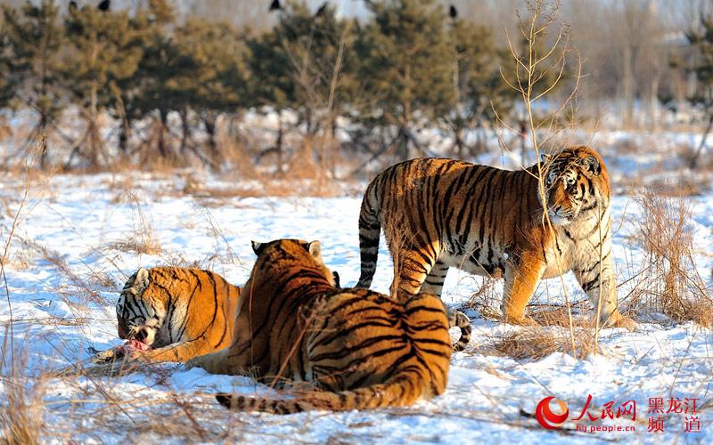 """三只老虎的""""爱"""""""