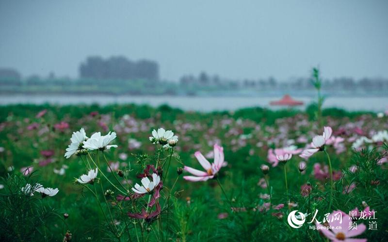 哈尔滨太阳岛湿地花田波斯菊提前绽放