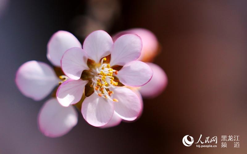 随手拍 春天 索菲亚教堂广场桃花盛开