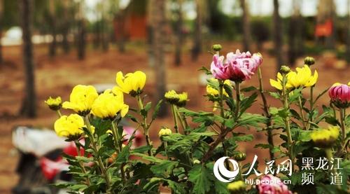 中国·梅里斯湖首届菊花文化旅游节启幕 展出名贵菊花