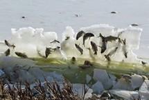 """湖鱼被冰封""""空中""""     大学教授凯丽·普瑞亨在美国南达科他州的一自然公园里拍下了湖鱼被水冻结在空中的奇特景象,仿佛是鱼儿跃出水面在空中时被冰封住的一样。【详细】     社会热图"""
