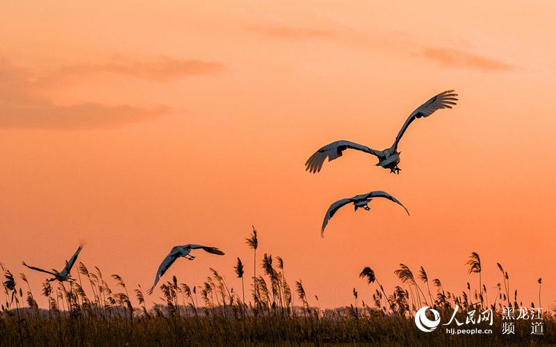 走进扎龙,看夕阳下美丽的丹顶鹤