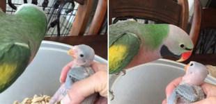 """浓浓母爱!鹦鹉妈妈给小鹦鹉喂食前说""""我爱你"""""""