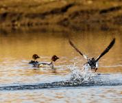 候鸟回归绰纳河保护区