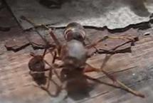 惊呆了!断头黄蜂找到脑袋抱其飞离现场视频显示,黄蜂的头就处在其右前方,而却它疯狂地拍打着翅膀,用两只前腿四处搜寻,企图找到头部。不久,黄蜂找到了头,抱在腿间,迅速飞离现场。【详细】国际新闻|国际热图