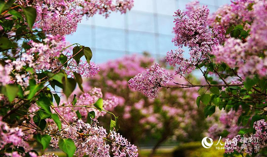 蚯蚓满城:哈尔滨五月丁香香龙江图说油和丁香图片