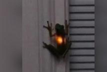 神奇!青蛙吞下萤火虫后胃部闪闪发光网上一段视频显示在美国田纳西州的纳什维尔市一只青蛙在吞食了萤火虫后胃部闪闪发光令人倍感新奇。视频中一只青蛙趴在白色的墙壁上身体不时发出暖黄色的光。【详细】社会政法|社会热图