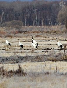 """珍宝岛湿地冬季出现未南迁丹顶鹤""""奇观"""""""