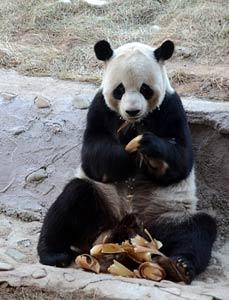 """中国""""最北""""亚布力熊猫馆"""