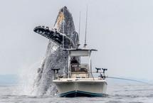 座头鲸从海中跃起在渔船正前方翻身表演近日,一段视频和几张照片记录了美国加利福尼亚州蒙特雷湾里一头巨大的座头鲸从水中跃起,出现在一艘小渔船的正前方的场面,十分壮观。【详细】国际新闻|国际热图