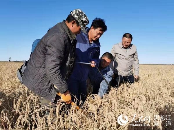 黑龙江耐盐碱水稻经受现场测产亩产水稻达403.7公斤