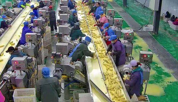 甘南�h:甜玉米加工�目�榇迕��